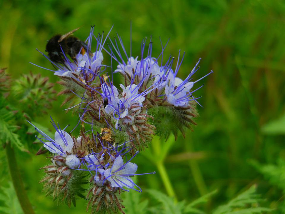 Facélia, Mézontó Grass, Nectar, Flower, Bumble Bee