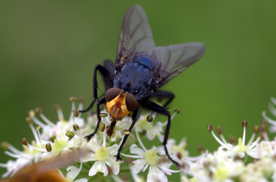 Fly, Dead Fly, Cynomya Mortuorum, Insect, Nectar Search