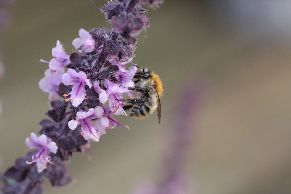 Basil, Wild Bee, Nectar, Bee, Blossom, Bloom, Nature