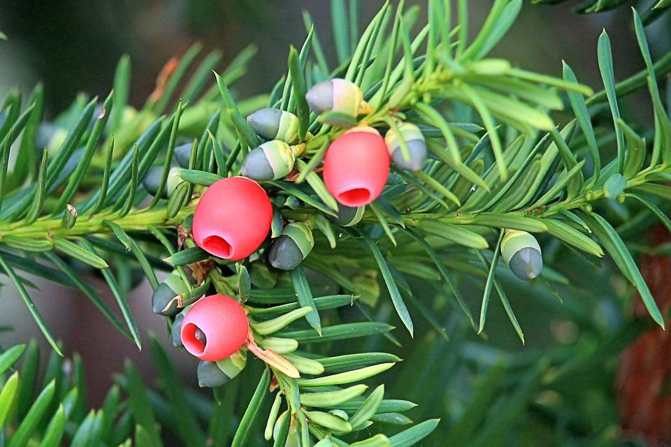 Yew, Conifer, Needle Branch, European Yew