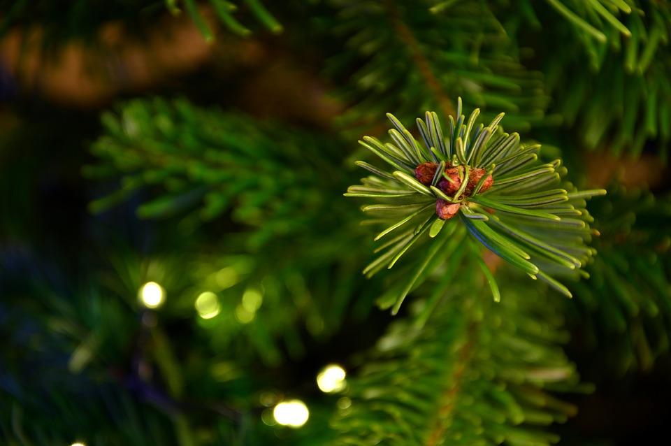 Fir Tree, Fir Green, Tannenzweig, Branch, Needle Branch