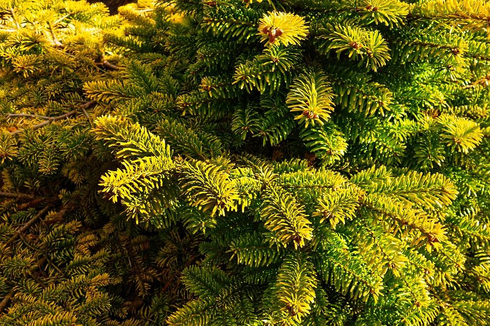 Dwarf Pine, Pine Tree, Conifer, Evergreen, Needle