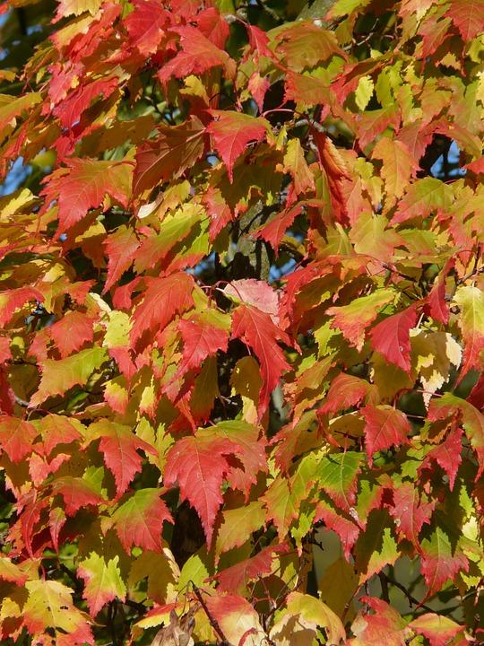 Maple, Acer Platanoides, Needle Leaf Maple