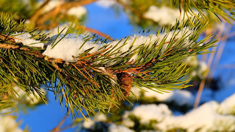 Tree, Nature, Season, Pine, Needle, Bright, Christmas
