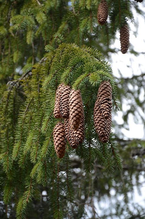 Tree, Plants Evergreen, Pine, Fir, Winter, Needle
