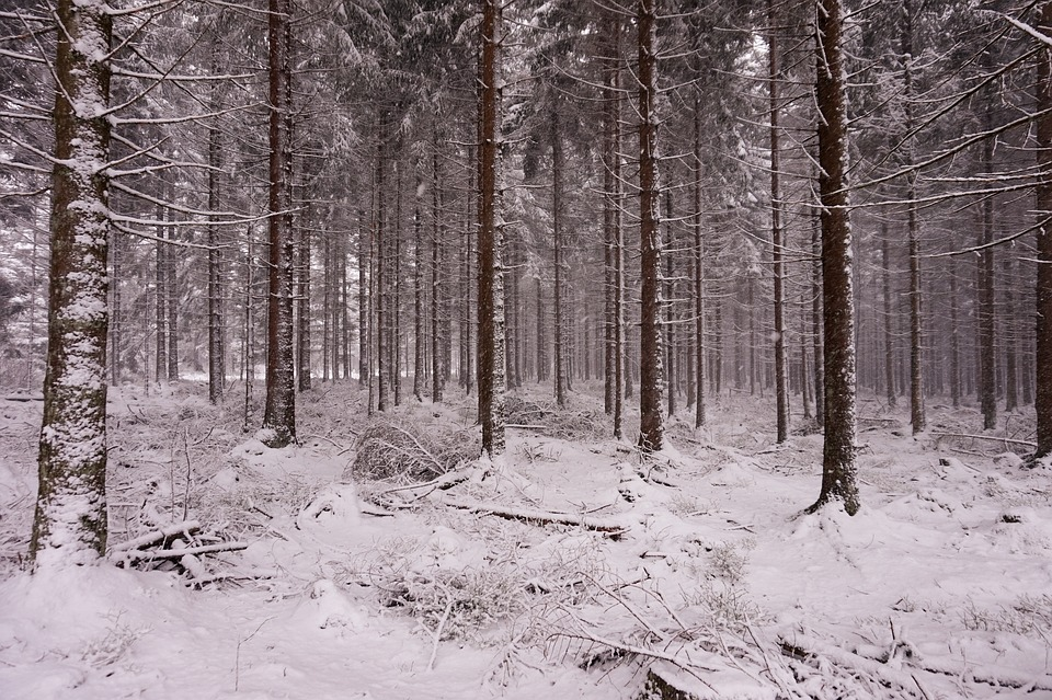 Forest, Snow, Winter, Trees, Nature, Needle