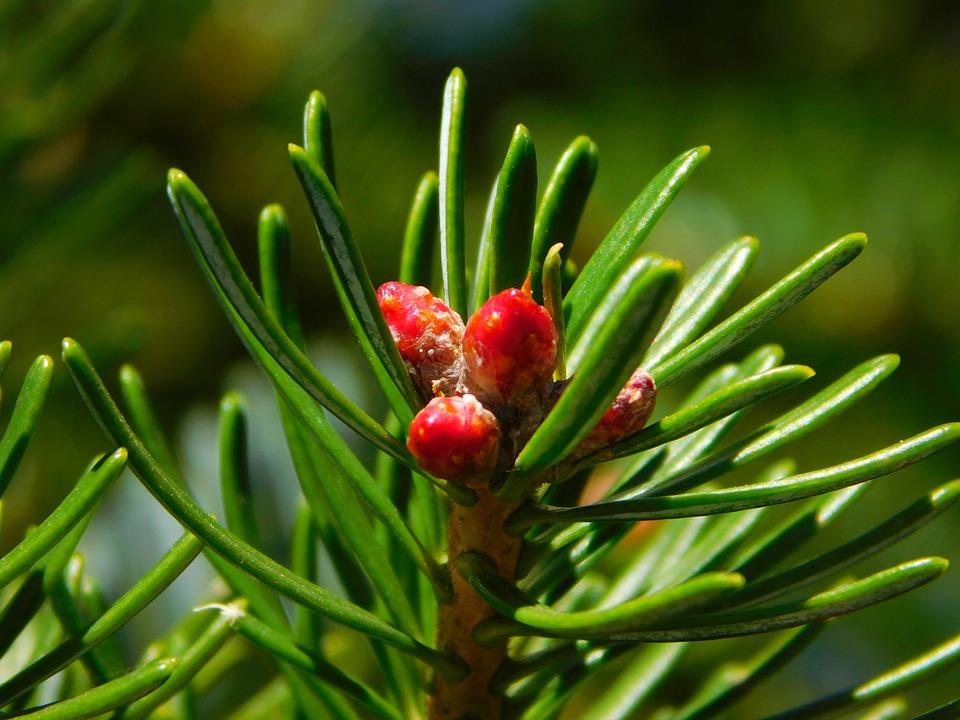 Gymnosperm Plant, Needles, Conifer, Conifers, Branch