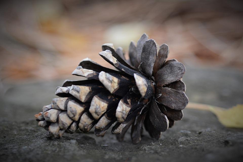 Cone, Closeup, Nature, Coniferous, Needles, Pine