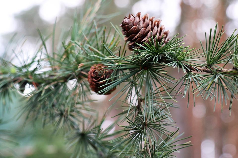 Larch, Pine Cone, Tree, Coniferous, Needles, Sprig