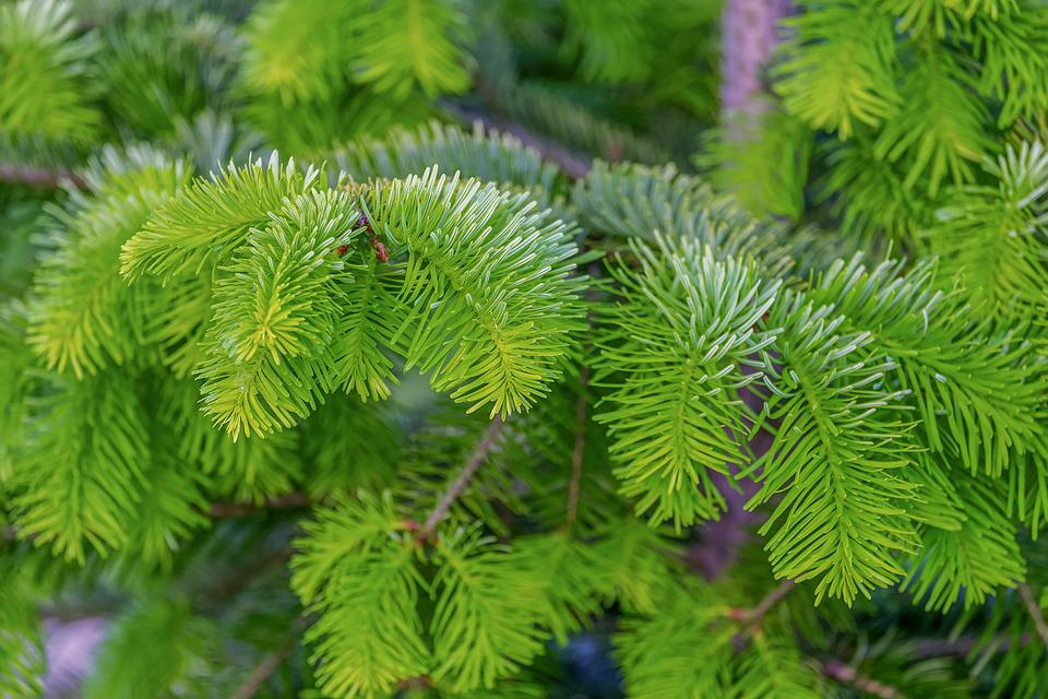 Fir Tree, Tannenzweig, Branch, Needles, Plant, Tree
