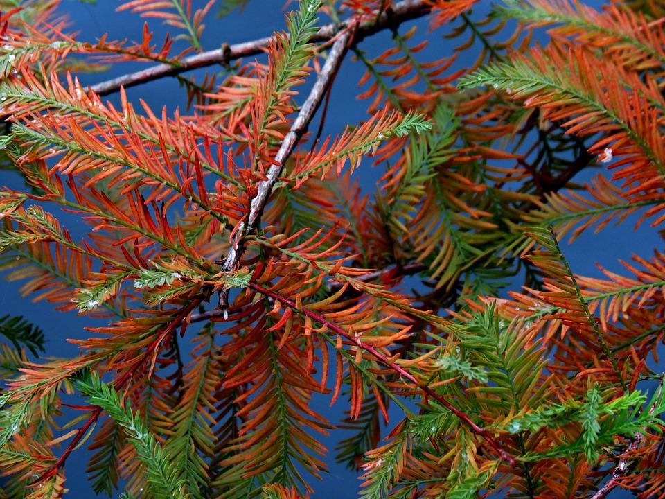 Branches, Conifer, Larch, Needles, Autumn, Colored