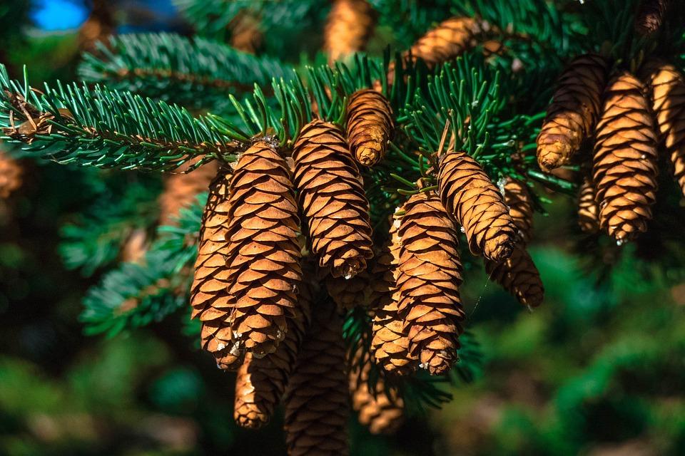 Cones, Pine, Pine Tree, Pine Cones, Needles