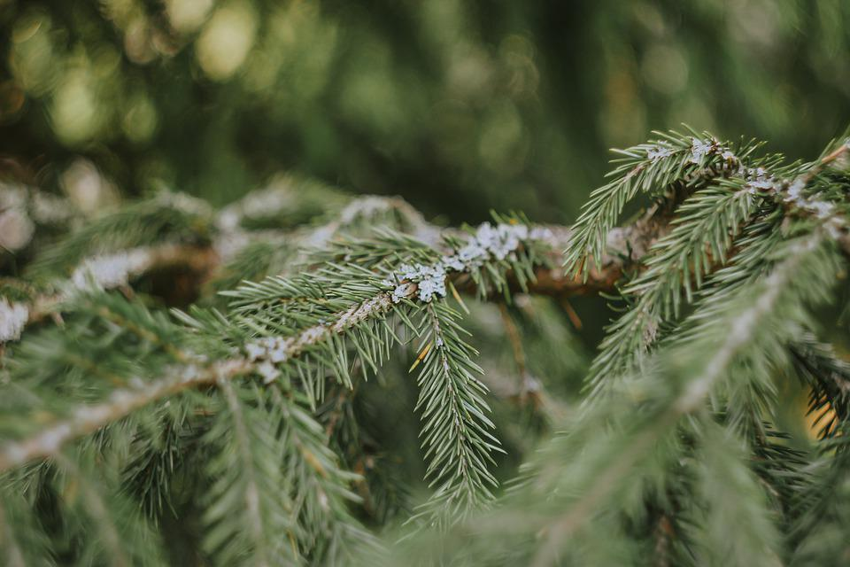 Pine, Tree, Spruce, Needles, Pine Tree, Branch, Nature