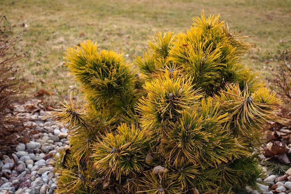 Pine, Tree, Needles, Evergreen