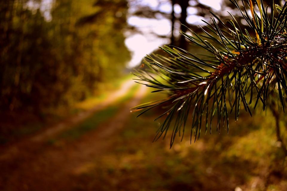Pine, Needles, Branch, Leaves, Tree, Plant, Conifer