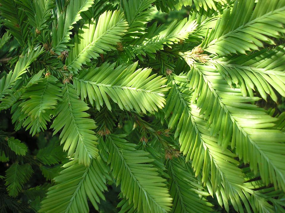 Branches, Sequoia, Redwood Branches, Needles, Shoots