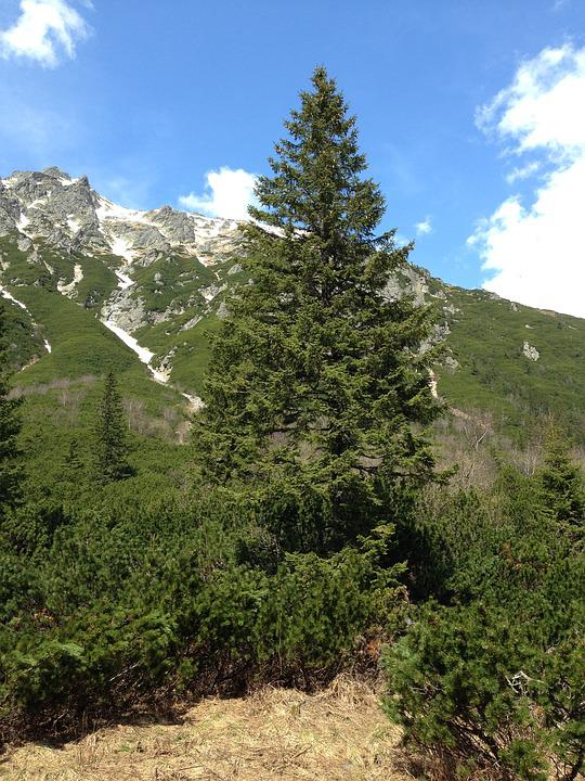 Tree, Spruce, Nature, Tatry, Mountains, Needles