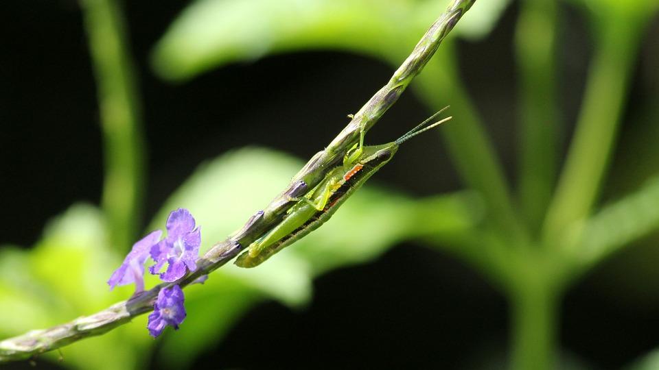 Kerala, India, Neorthacris Simulans
