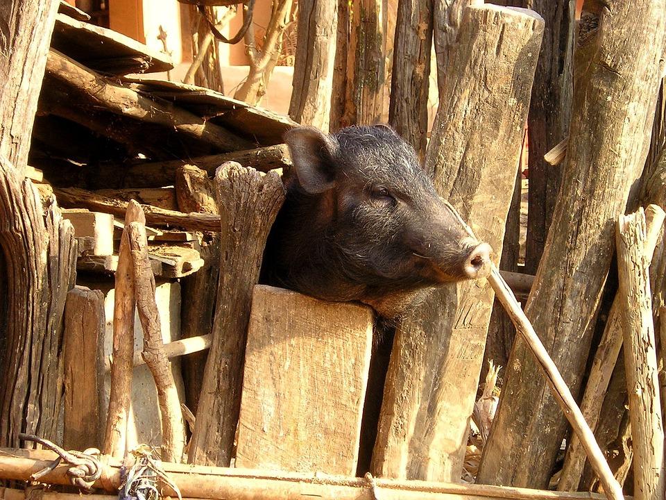 Nepal, Pig, Piglet, Head