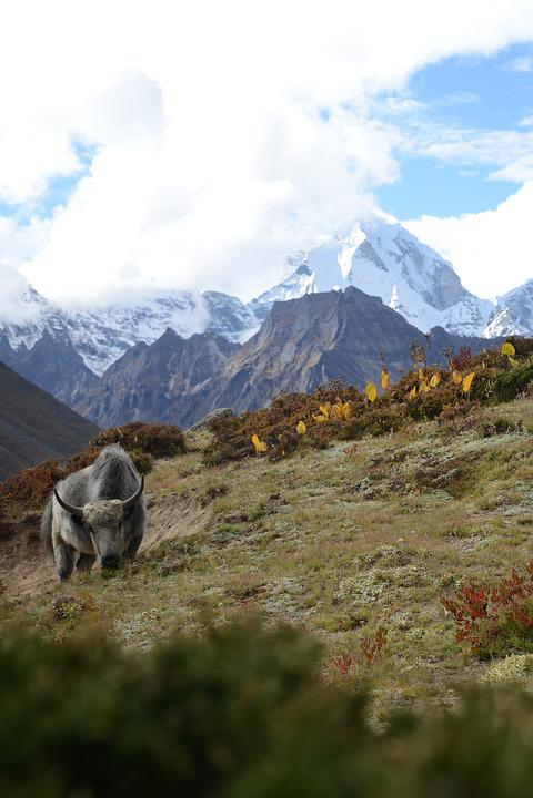 Nepal, Himalayas, Yak