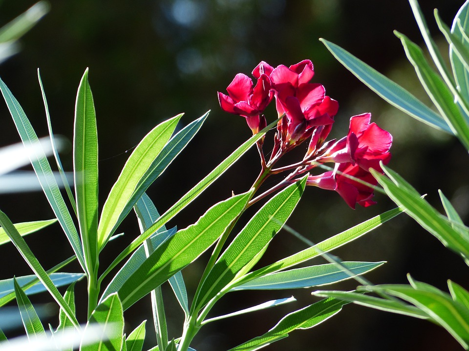 Oleander, Flower, Blossom, Bloom, Red, Nerium Oleander