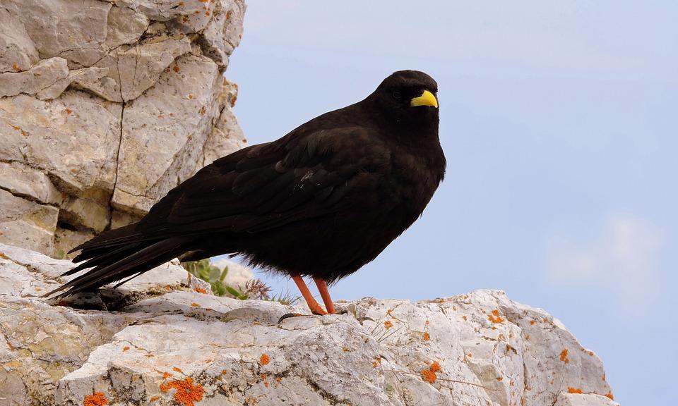 Merlo, Bird, Animal, Rock, Beak, Nero