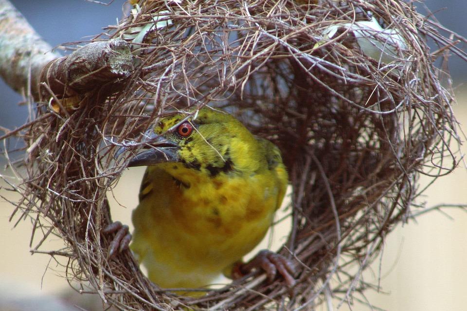 Weaver Bird, Bird, Nest, Animal