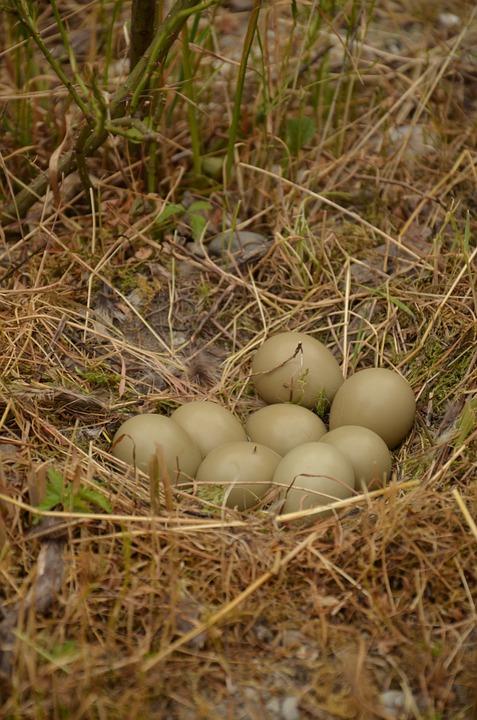 Nest, Bird Eggs, Bird's Nest, Pheasant Eggs