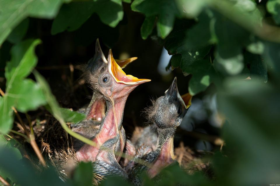Nest, Bird's Nest, Nesting, Blackbirds, Birds, Nature