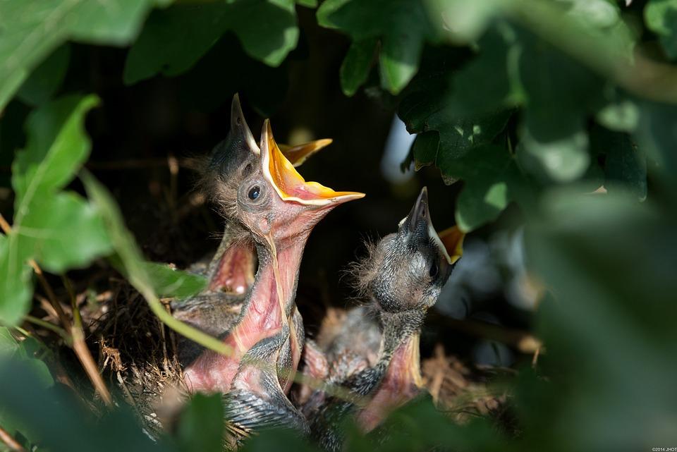 Nest, Bird's Nest, Nesting, Blackbirds, Birds, Nature