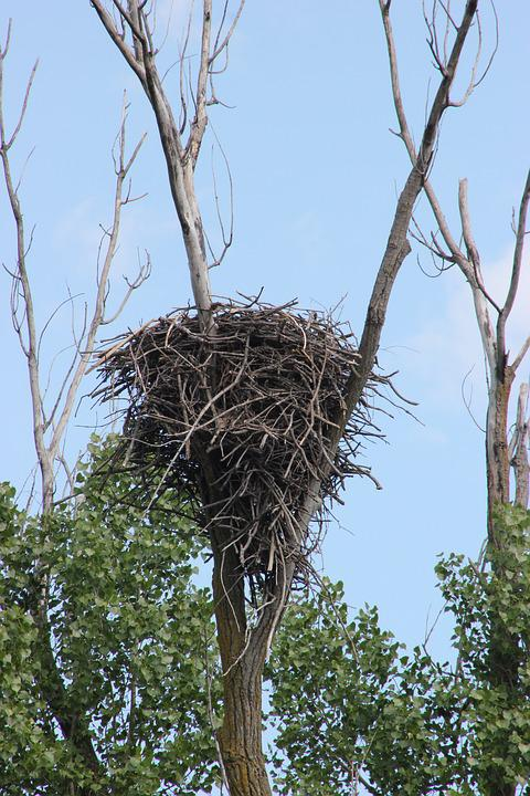 Nest, Bald Eagles Nest, Bird, Eagle, Wildlife, Tree