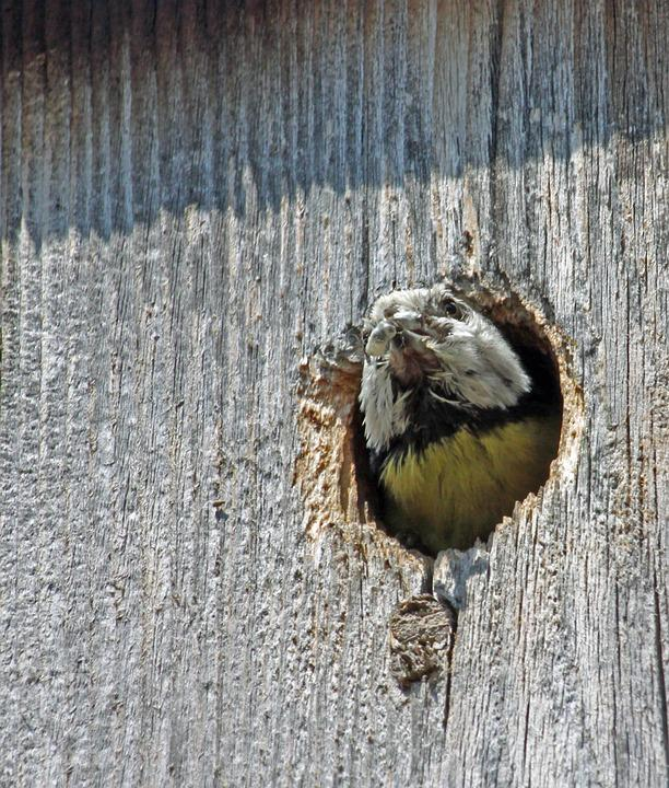 Blue Tit, Food, Nesting Box, Eat, Songbird, Feed, Tit