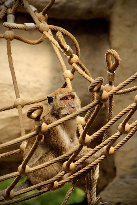 Monkey, Net, Macaque, Java, Park, Mountain, Adventure