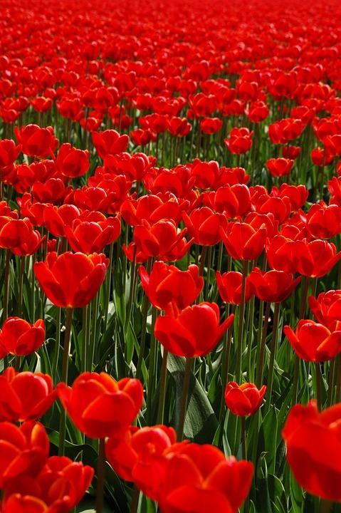 Field, Nature, Tulip, Plant, Garden, Netherlands