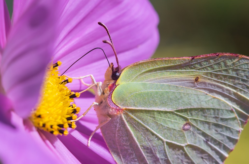 Butterfly, Brimstone, Nature, Wings, Netherlands