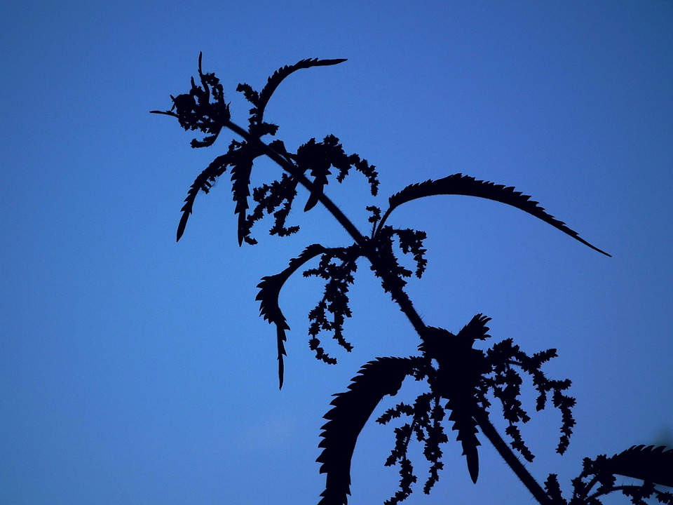 Shadow, Sky, Nettle, Blue, Plant, Leaves