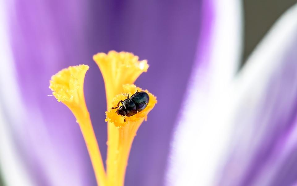 Nettle Jewel Beetle, Ried Grass Beetles