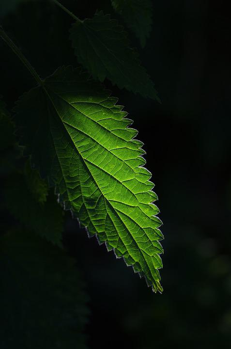 Nettle, Plant, Green