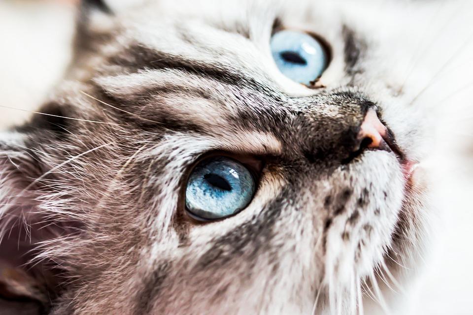 Cat, Siberian Forest Cat, Blue Eye, Neva Masquarade