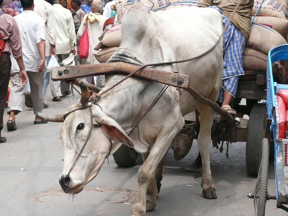 Cow, New Delhi, India, Work, The Burden Of, Fatigue