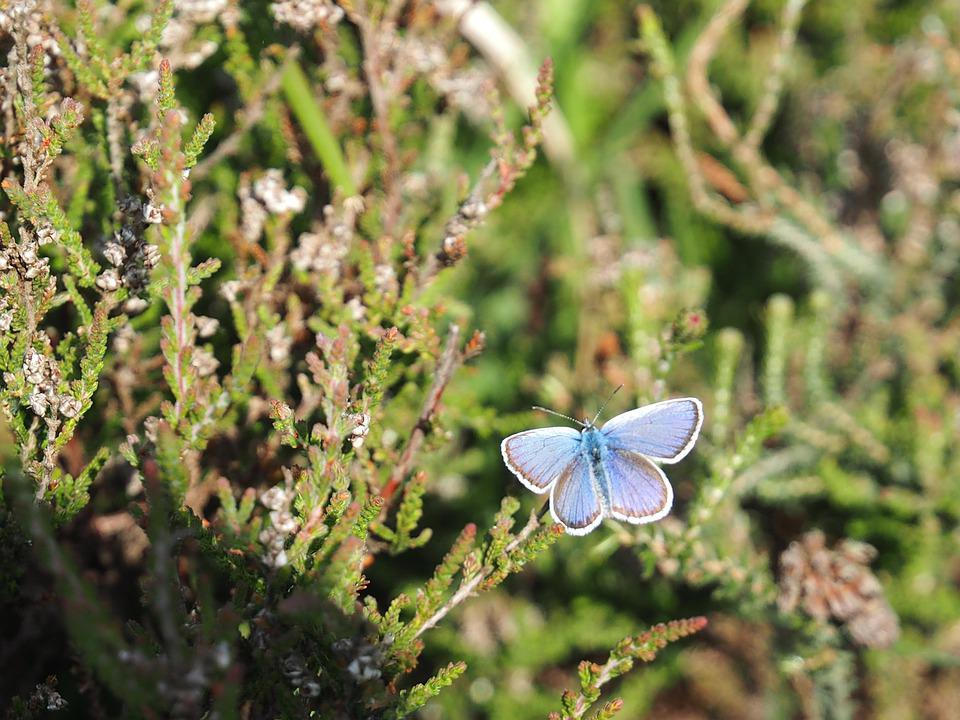 Butterfly, Silver Studded Blue, New Forest, Hampshire