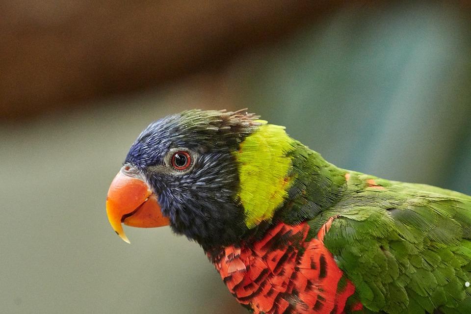 Lorikeet, Parrot, New Guinea, Lori, Bird, Animal World