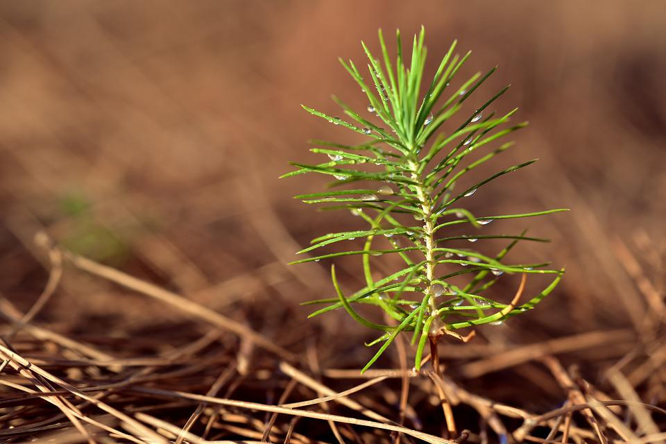 Pine, New, Young, Tender, Plant, Growth, Live New