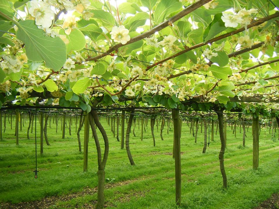 Kiwifruit, Tepuke, New Zealand, Horticulture