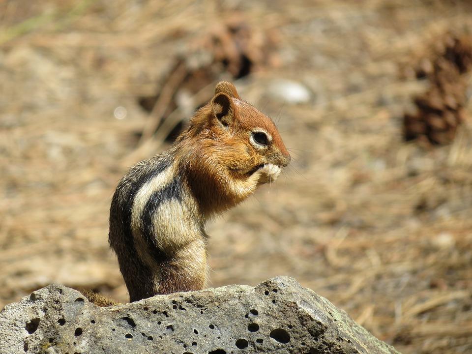 Squirrel, Newberry, Usa, Chipmunk