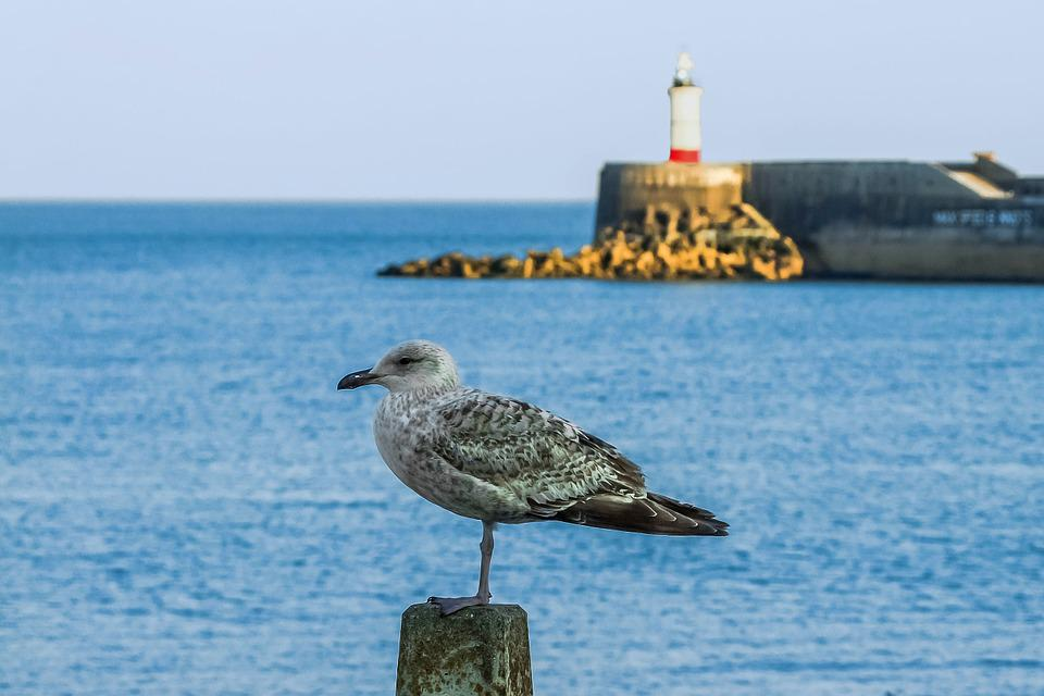 Newhaven, Coast, Seagull