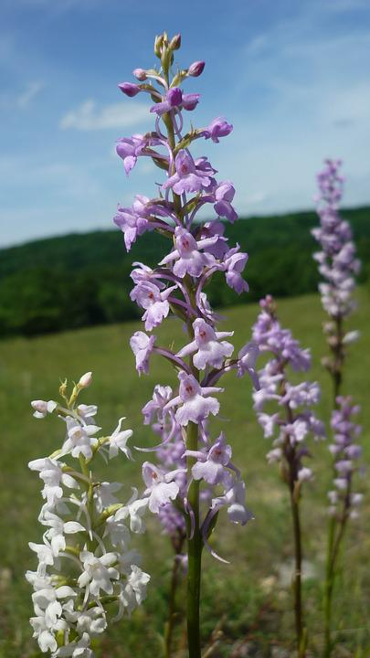 Mosquito-fragrant Orchid, German Orchid, Next, White