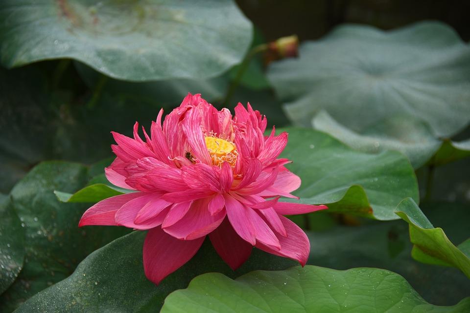 Lotus Flowers, Throat, Red, Blooming, Nice, Summer