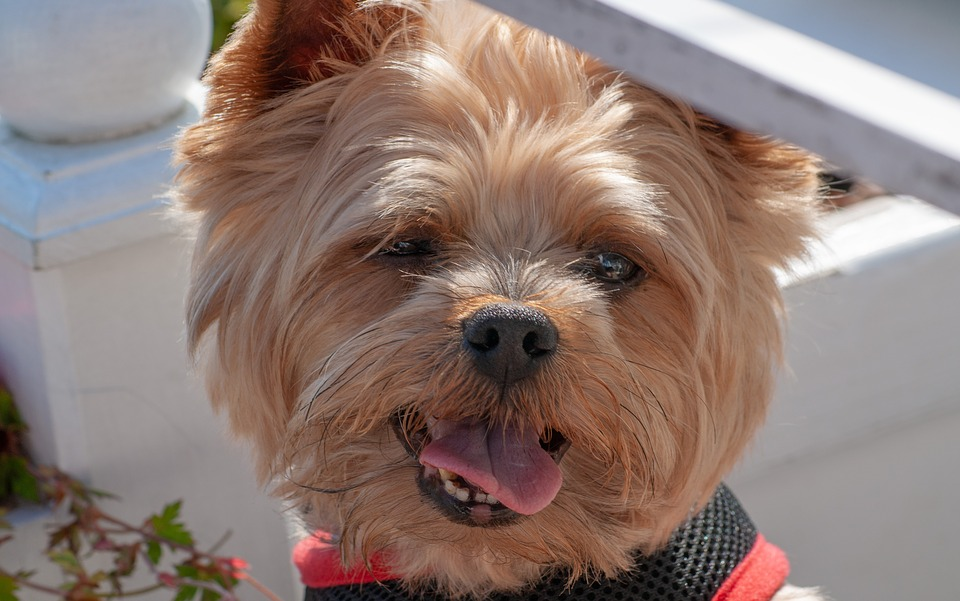 Dog, Yorkshire Terrier, Nice, Terrier, Pet, Small