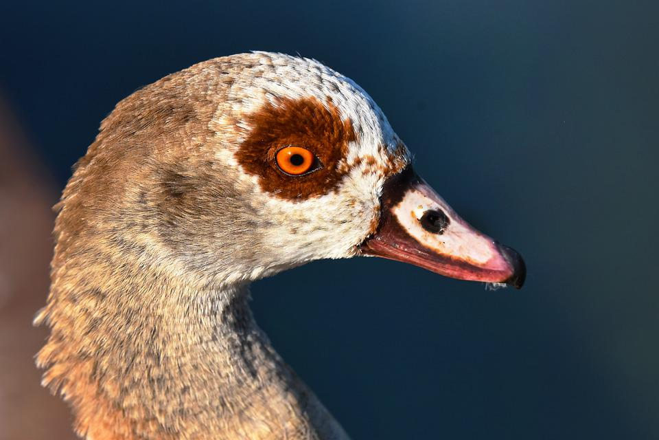 Nile Goose, Duck, Bird, Waterbird, Animal, Wildlife